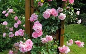 Всё о розах