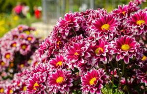 Особенности выращивания хризантемы