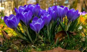 Крокус - вестник весны