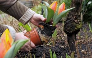 Секреты ухода за тюльпанами для начинающих дачников