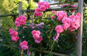 Характеристика вьющейся розы Розариум Итерзен