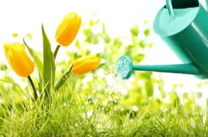 Разновидности тюльпанов Голден и особенности их выращивания