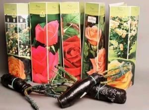 Секреты успешного выращивания роз из коробок