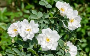 Морщинистая роза – искусство выращивания