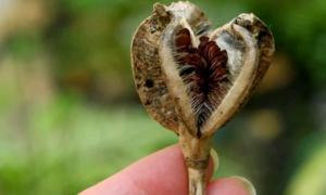 Применение семян тюльпанов для выращивания новых сортов цветка