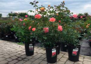 Розы - уход от саженца до розария