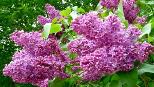 Цветы сирени – очарование сада и лекарство от многих болезней