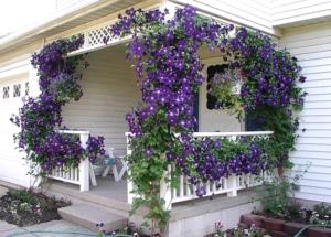 Полезная информация для начинающих о цветках клематиса