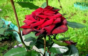 О красных розах