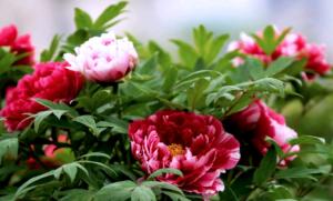 Изысканные цветы пионы на садовом участке